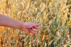 儿童` s手握燕麦的耳朵与瓢虫的在日落 夏天 免版税库存图片