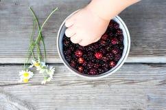 儿童` s手采取在板材的黑莓 它在春黄菊旁边说谎 库存照片