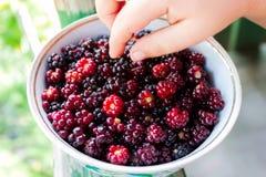 儿童` s手采取在板材的黑莓 免版税库存图片