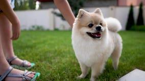 儿童` s递抚摸在草的一条白色奶油色pom狗 拖曳狗 股票视频