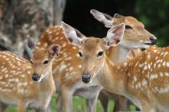 儿童chital deers母亲 免版税库存图片