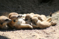 儿童meerkats 免版税库存图片