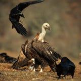 兀鹫欺骗fulvus和灰黑色雕Aegypius monachus 免版税库存图片