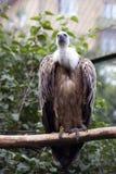 兀鹫欺骗fulvus 彩色照片 库存照片