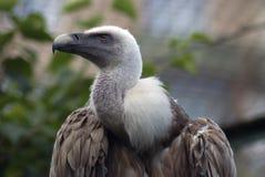 兀鹫欺骗fulvus 彩色照片 库存图片
