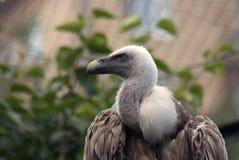 兀鹫欺骗fulvus 免版税库存照片