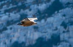 兀鹫,一位典雅的高空飞行家在维登法国峡谷  免版税库存照片