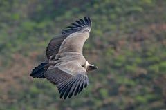 兀鹫,欺骗fulvus,大鸷在moountain上的飞行 在石头的雕 鸟在自然栖所, Spai 免版税库存图片