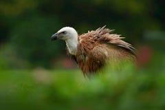 兀鹫,欺骗fulvus,大鸷坐石头,岩石山,自然栖所, Madzarovo,保加利亚,东Rhodo 免版税库存照片