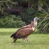 兀鹫,欺骗fulvus,欧亚griffon是在鸷的一只大旧世界雕家庭鹰 griffon是 免版税库存图片
