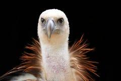 兀鹫 免版税库存图片