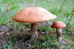 兄弟他的更小的蘑菇 库存照片