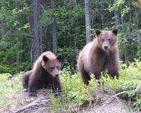 兄弟北美灰熊 免版税库存图片
