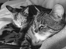 兄弟和姐妹虎斑猫 免版税库存图片