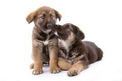 兄弟逗人喜爱的小狗二 免版税库存图片