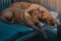 兄弟 两睡觉白肤金发的labradors 免版税图库摄影