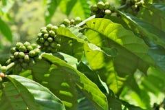 充分一个分支与绿色束咖啡豆 库存图片