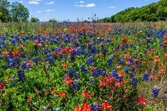 充分一个华美的得克萨斯草甸矢车菊和印度画笔野花。 免版税库存图片