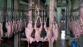 充分一个工业转盘垂悬在食用植物的被清除的鸡 股票视频