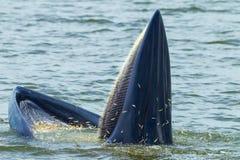 充分关闭Bryde的鲸鱼鲥鱼 免版税库存图片