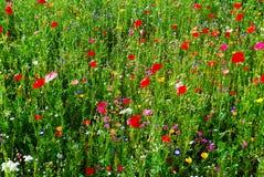 有红色鸦片的草甸 库存图片