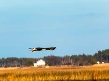 充分在飞行中被传播的白头鹰 免版税库存图片