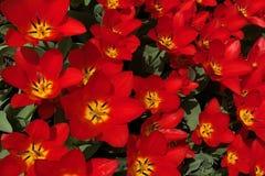充分地开花在春天的红色郁金香 免版税库存照片