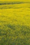 充分地开花的领域,黄色花 充分的春天自然本底 免版税库存照片