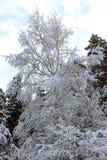 充分地积雪的树在森林里 免版税库存图片
