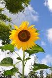 充分地被种植的向日葵 库存图片