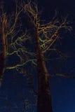充分夜空在干燥树背景的明亮的星  库存图片