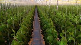 充分大温室黄瓜植物,从里面 股票视频