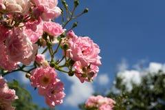 充分天空玫瑰 库存照片
