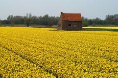 充分床在春天期间的黄水仙在荷兰 免版税库存照片
