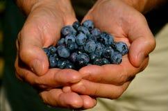 充分手新鲜的蓝莓 免版税库存图片