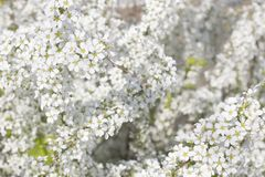 充分新娘花圈灌木在春天开花 库存图片