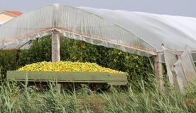 充分无盖货车从种植园温室的被采摘的蕃茄 库存图片