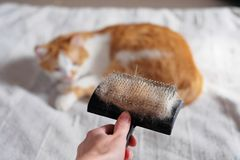 充分梳宠物毛皮在一只手和说谎的猫上在背景中 库存照片