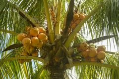 充分棕榈在圣地米格尔dos Milagres海滩的椰子 免版税库存照片