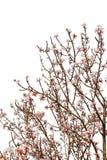 充分樱桃树在白色隔绝的花开花 库存图片