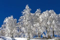 充分毛皮树雪,在西部马其顿地区,在格雷韦纳附近,希腊 免版税库存照片