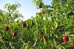 充分油桃树在一个晴朗的下午的成熟红色果子 免版税库存图片