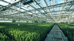 充分温室增长的花,安置在行 股票录像