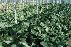 充分温室花椰菜植物 免版税库存图片