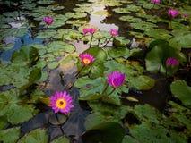 充分湖在日出的开花的莲花 Lotus湖在茂物总统府 免版税库存照片