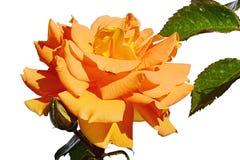 充分玫瑰色Goldelse,在白色背景的Tantau开花的淡桔色的花1999年,被成锯齿状上升了可看见的叶子 免版税库存图片