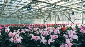充分玻璃温室仙客来花,生长在罐 有许多的工业温室花 影视素材