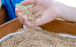 充分男孩的手麦子种子 库存图片