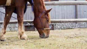 充分的吃和嚼草的一匹红色马的hd慢动作录影,当等待时 影视素材