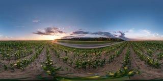 充分的无缝的球状hdri全景360度在柏油路附近的角度图在夏天晚上日落的玉米田中 库存照片